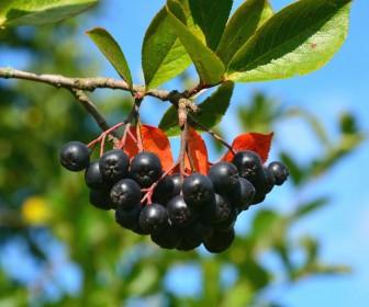 Арония черноплодная Черноокая