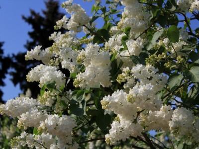 Сирень Флора (Flora)