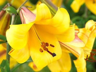 Лилия Golden Splendor
