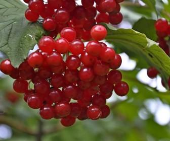 Калина садовая Красная гроздь