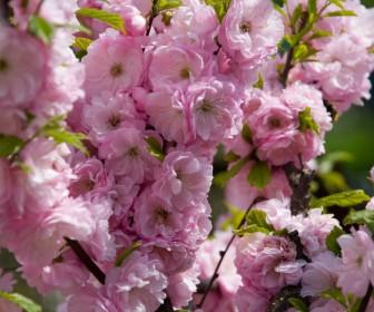 Миндаль декоративный розовый