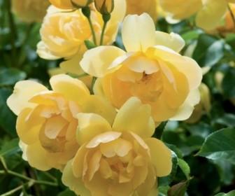 Роза английская Баттеркап