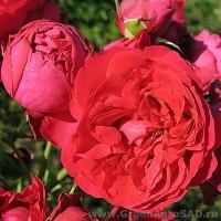 Роза английская Эрик Таберли