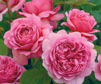 Роза английская Принцесса Александра оф Кент