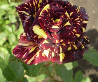 Роза чайно гибридная Абракадабра
