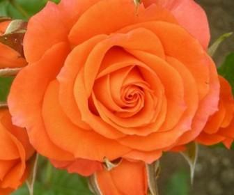 Роза чайно гибридная Алегрия