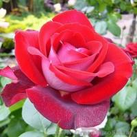 Роза чайно гибридная Аллилуйя