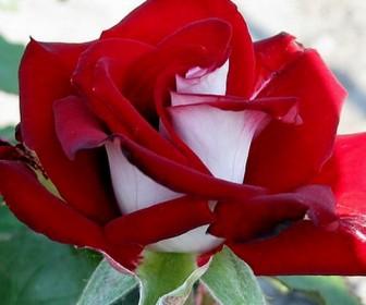 Роза чайно гибридная Альянс