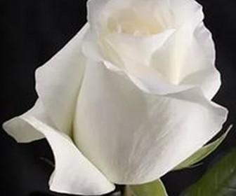 Роза чайно гибридная Анастасия