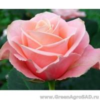 Роза чайно гибридная Ангажимент
