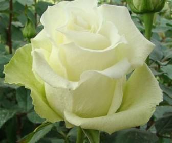 Роза чайно гибридная Аваланж