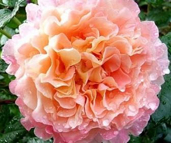 Роза чайно гибридная Августа Луиза