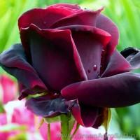 Роза чайно гибридная Черный принц