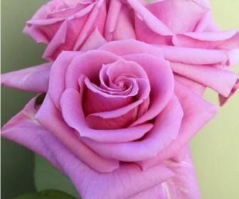 Роза чайно гибридная  Делинах