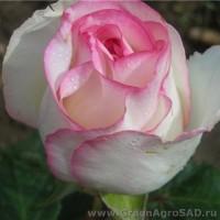 Роза чайно гибридная Дольче Вита