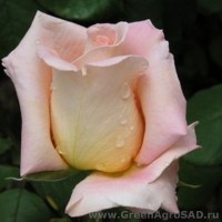 Роза чайно гибридная Эмми
