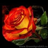Роза чайно гибридная Френдшип