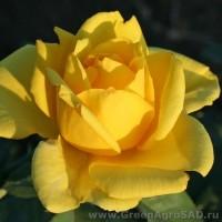 Роза чайно гибридная Голден Медальон