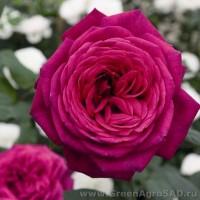 Роза чайно гибридная Иоганн Вольфганг фон Гете