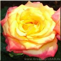 Роза чайно гибридная Конфетти