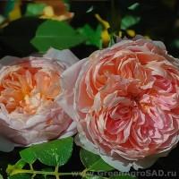 Роза чайно гибридная Лив Тайлер