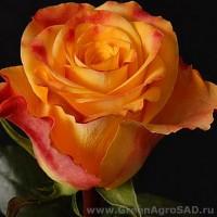 Роза чайно гибридная Мэри Клэр