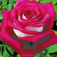 Роза чайно гибридная Моника Белуччи