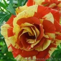 Роза чайно гибридная Оранж энд Лемон