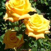 Роза чайно гибридная Папилон