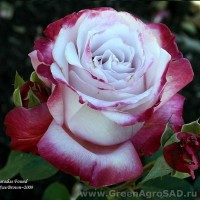 Роза чайно гибридная Парадиз