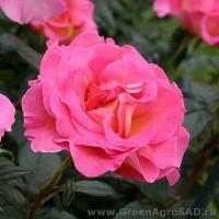 Роза чайно гибридная Пинк Парадайс