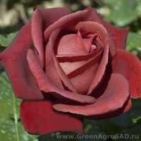 Роза чайно гибридная Терракотта