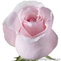 Роза чайно гибридная Титаник
