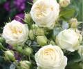 Роза чайно гибридная Веддинг Пиано