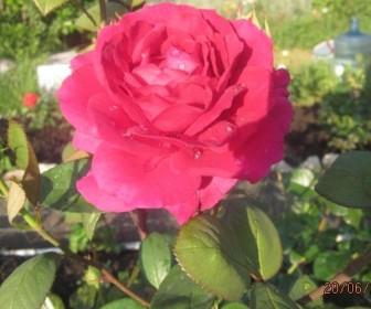 Роза чайно гибридная  Юриандра