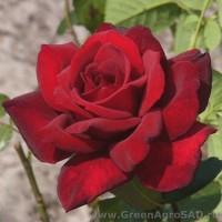 Роза чайно гибридная Зуммер Дуфт