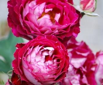 Роза кустовая Бель де Сегоза