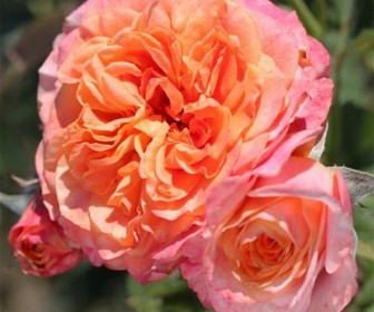 Роза кустовая Ла Вилла Котта