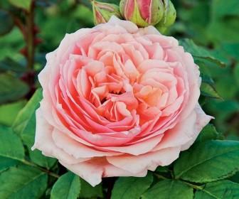 Роза кустовая  Поль Бокюз