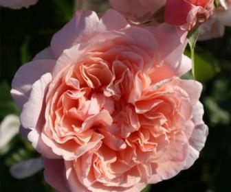 Роза кустовая Роз де Толбиак