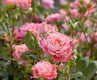 Роза миниатюрная Аллегро симфония