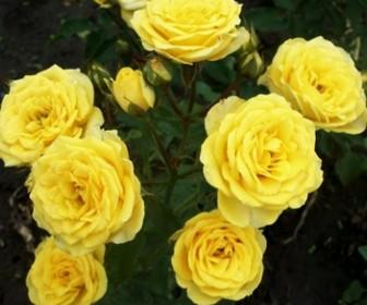 Роза миниатюрная Голд