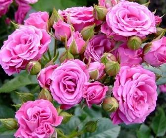 Роза миниатюрная Пинк Спрей