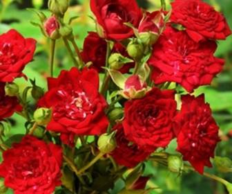 Роза миниатюрная Ред Каскад