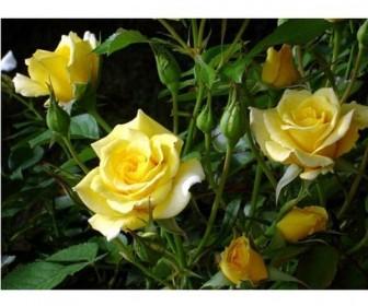 Роза миниатюрная Жоне