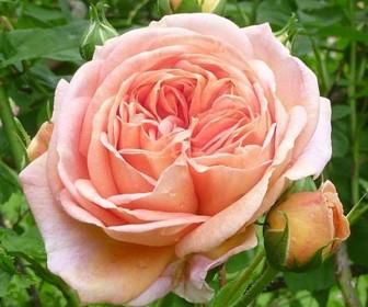 Роза плетистая Алхимист