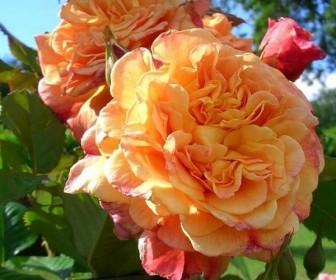Роза плетистая Аллоха