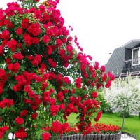 Роза плетистая Фламентанз