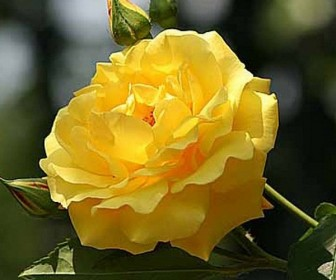 Роза плетистая Голд Штерн