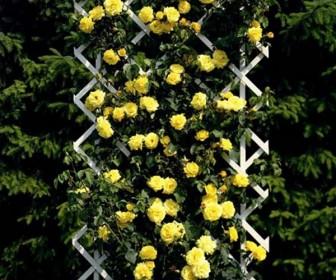 Роза плетистая Голден Клайм